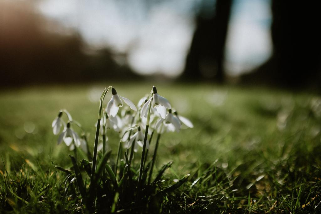Photo of snowdrops in the grass