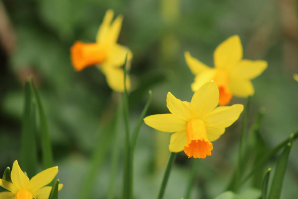 Photo shows yellow daffodils